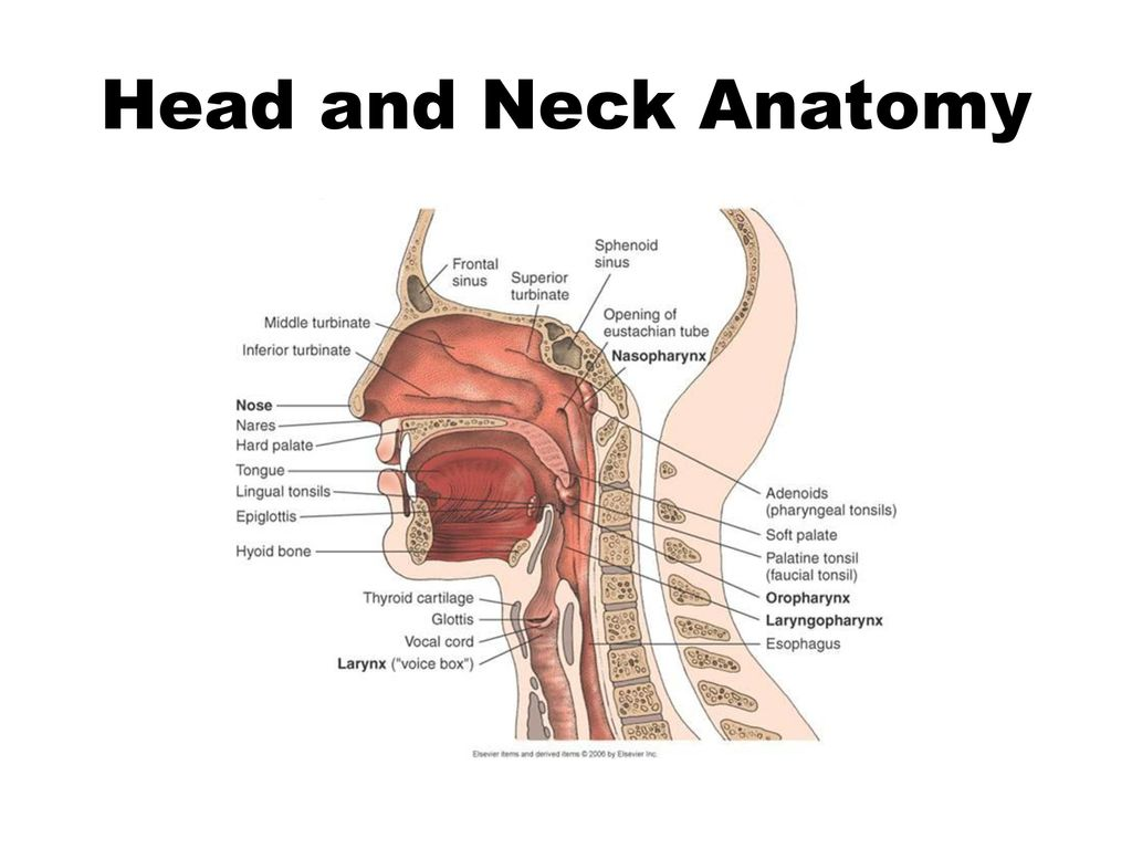 Großartig Nase Anatomie Diagramm Fotos - Anatomie Ideen - finotti.info