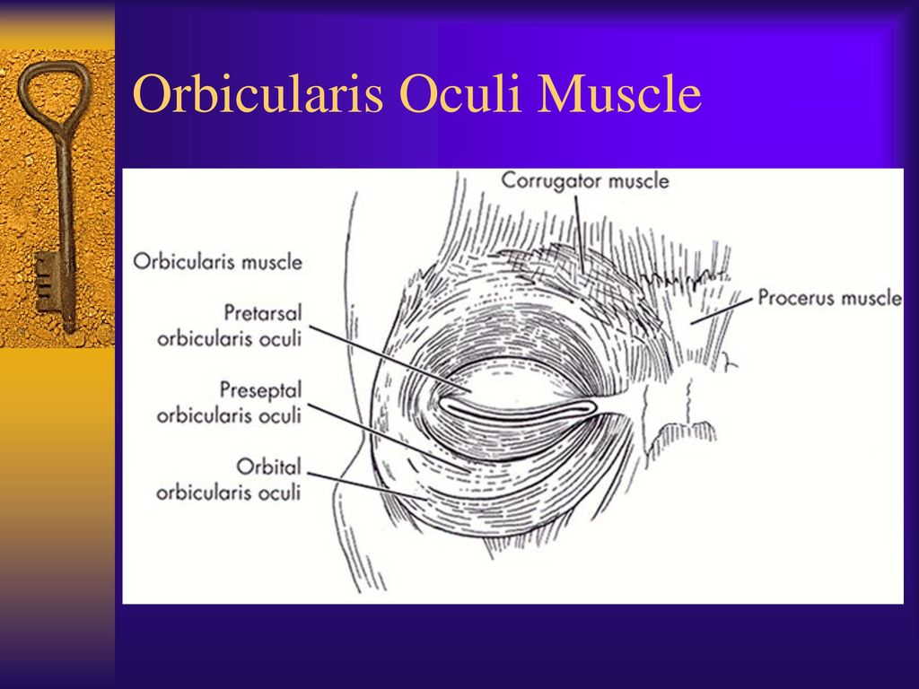Dorable Orbicularis Oculi Function Gallery - Physiology Of Human ...