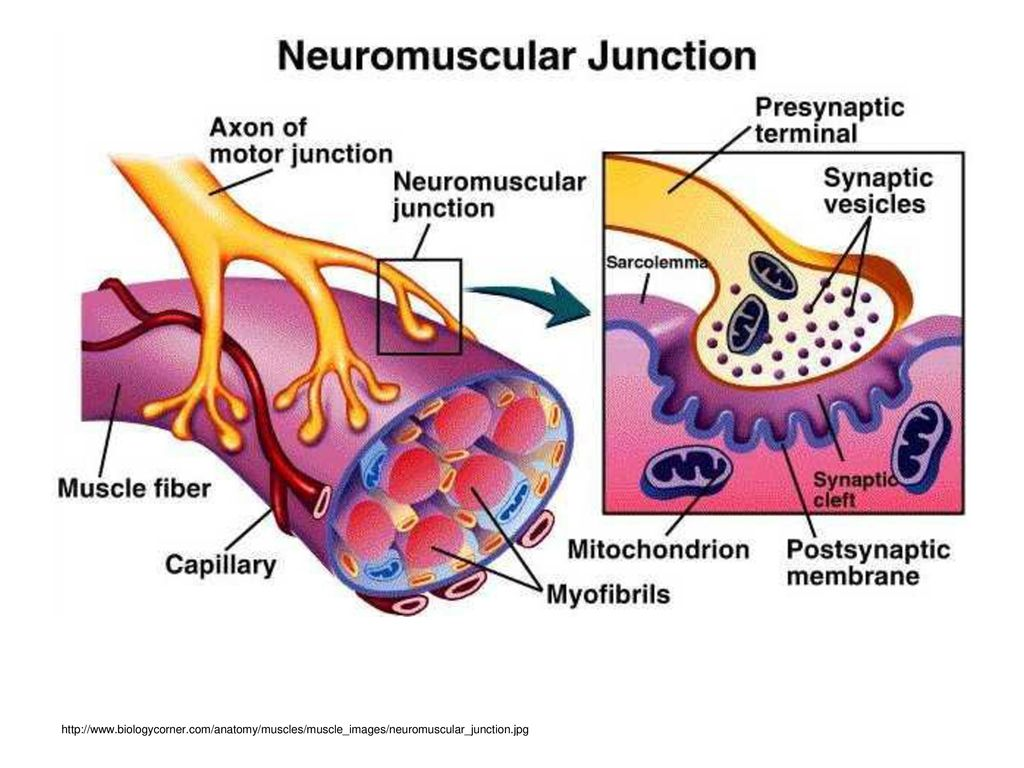 Lujo Anatomy And Physiology Biology Corner Molde - Anatomía de Las ...