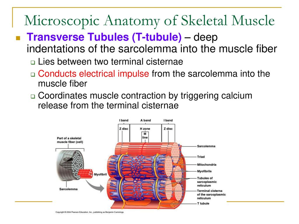 Microscopic anatomy definition 1126796 - follow4more.info