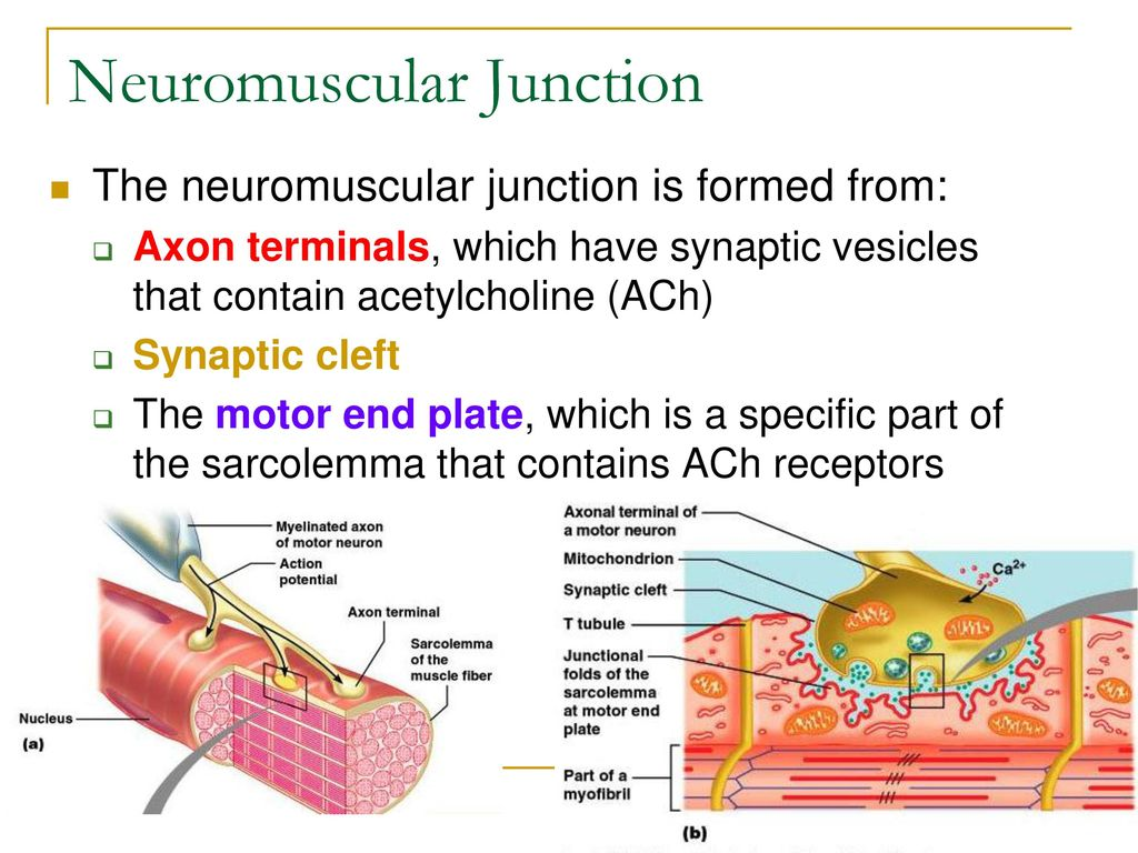 Neuron And Neuromuscular Junction Worksheet - Switchconf