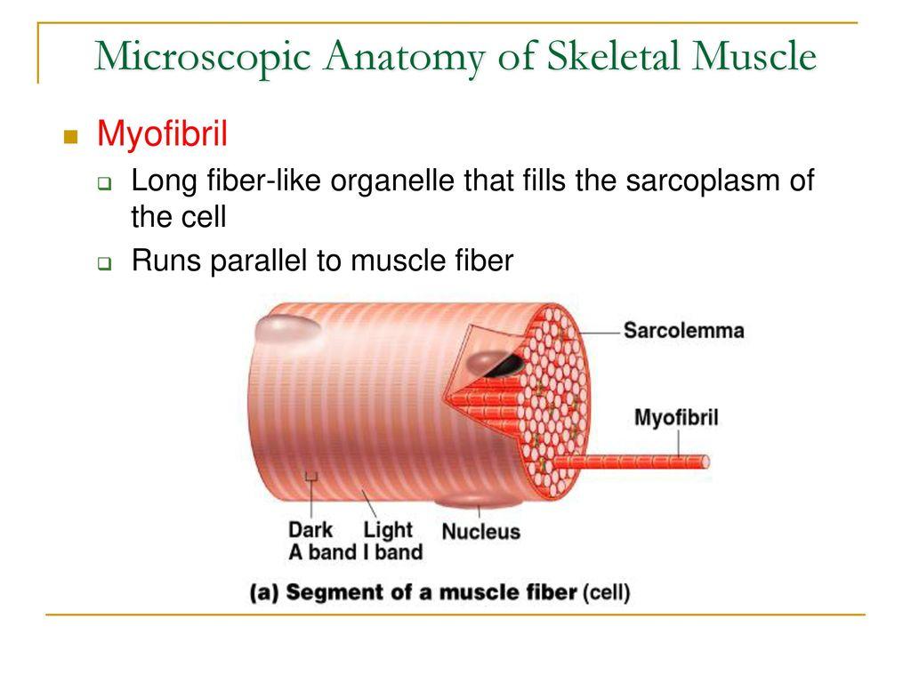 Muscle Coloring Page 3 Microscopic Anatomy Of Skeletal - Worksheet ...