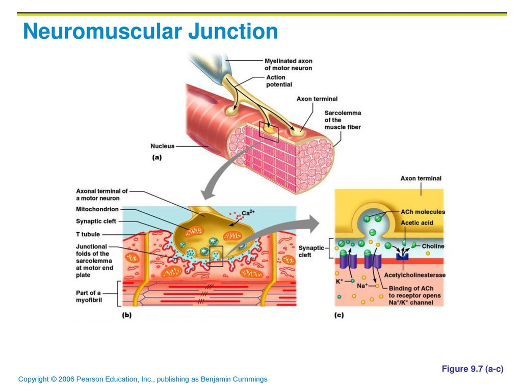 Awesome Anatomy Of Neuromuscular Junction Image - Physiology Of ...