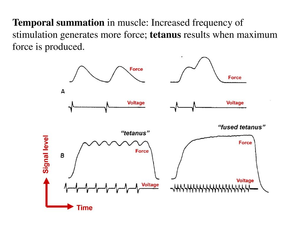 temporal summation and muscle tension Chapter 11 part ii behavior of skeletal muscles study play four major phases of contraction and relaxation  -muscle fiber ceases to produce or maintain tension-muscle fiber returns to its resting length  temporal summation results from two stimuli arriving close together.