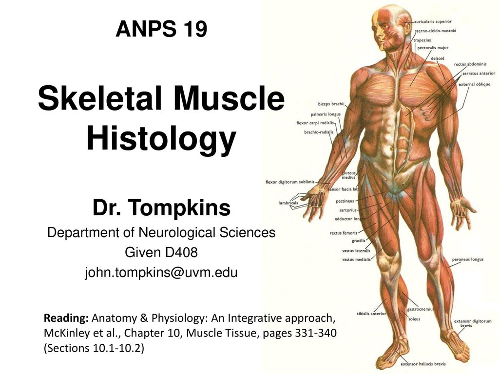 Skeletal Muscle Histology - ppt video online download