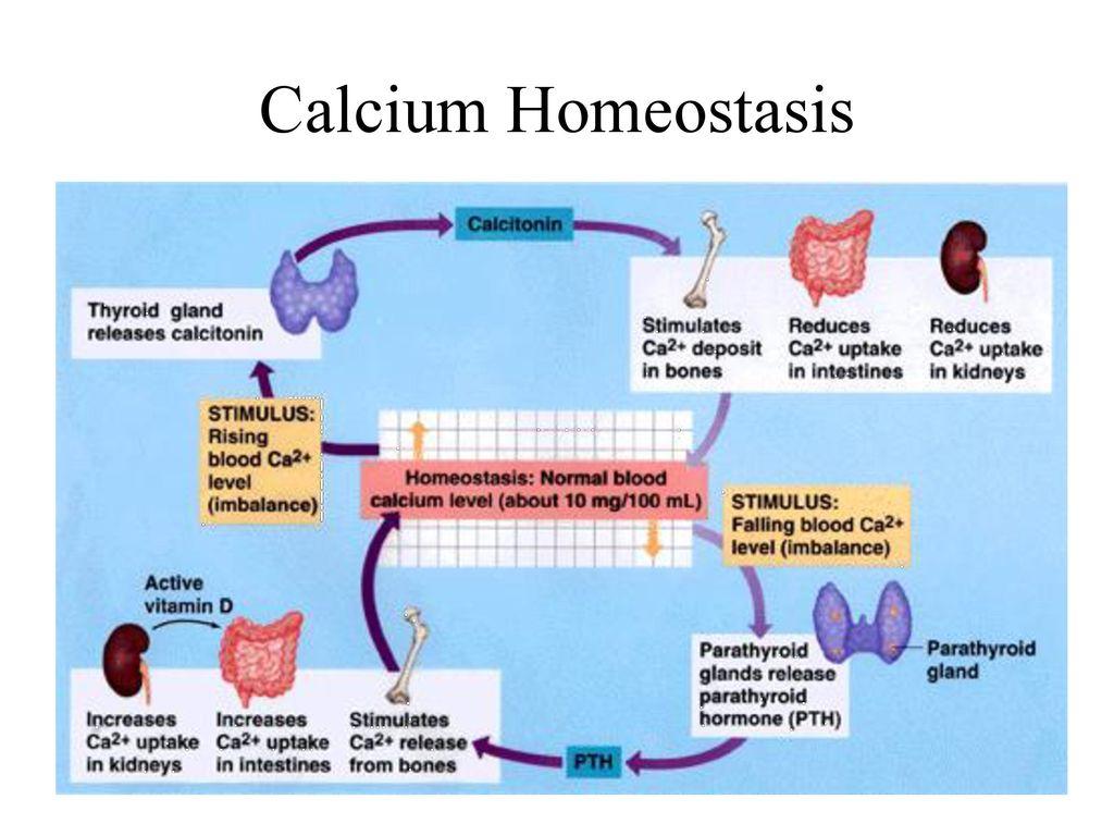 calcium homeostasis essay Calcium homeostasis dr s umbul f atma  calcium homeostasis - powerpoint ppt presentation by mariah follow user.