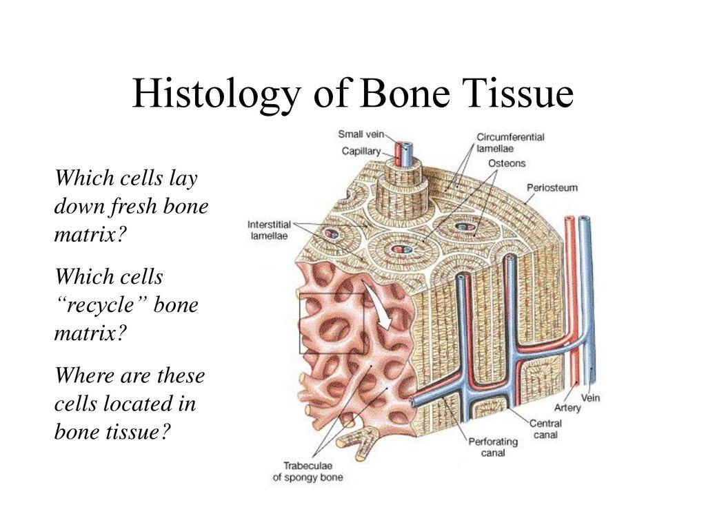 Großzügig Describe The Anatomy And Histology Of Bone Tissue Galerie ...