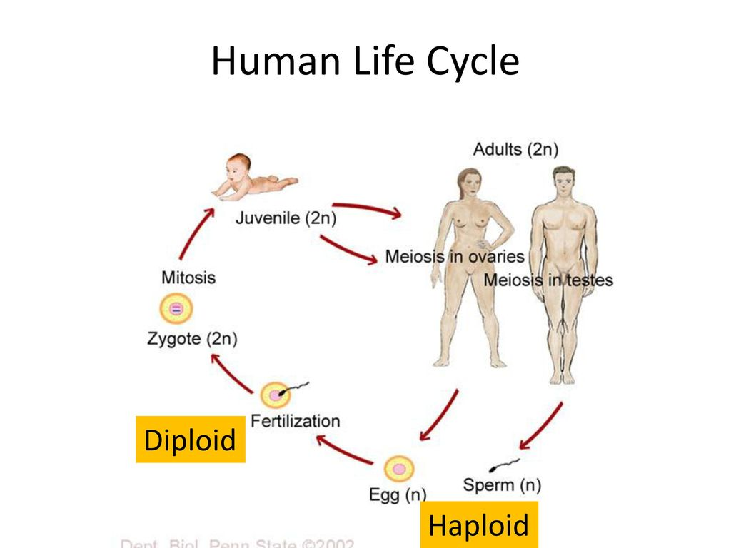 Life span of the human sperm and human egg essay