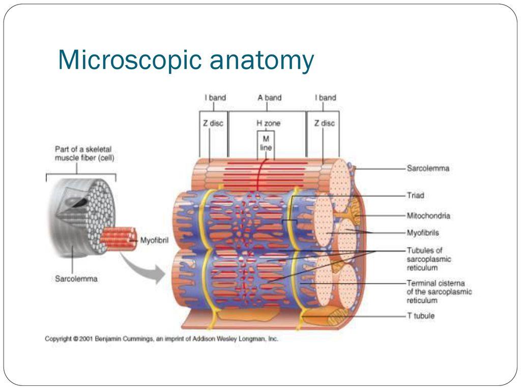 Muscle Fiber Anatomy 81195 | MOVIEWEB