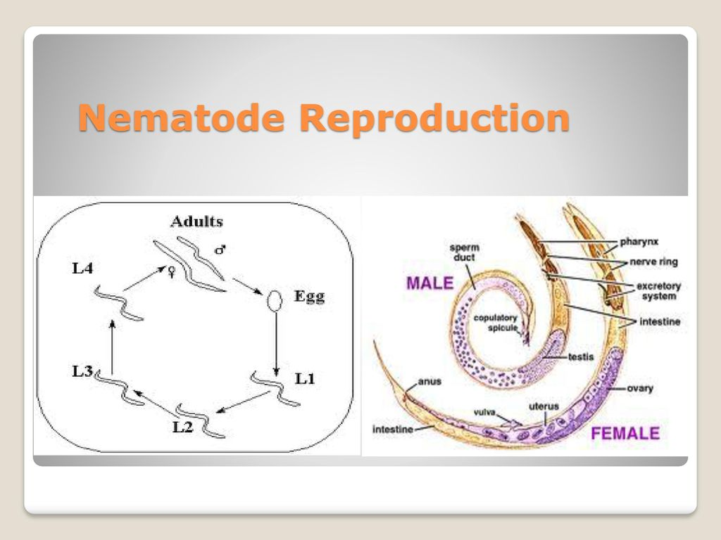 Phylum nematoda and other pseudocoelomate animals chapter 9 9 nematode reproduction pooptronica Gallery