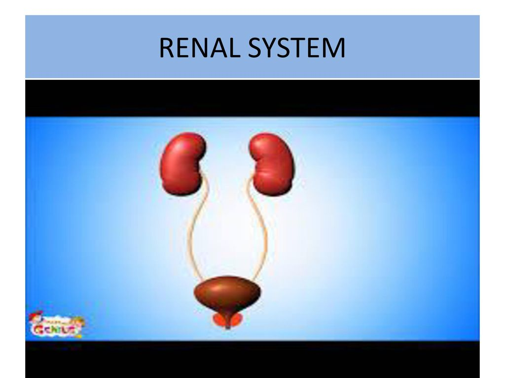 RENAL SYSTEM. - ppt video online download