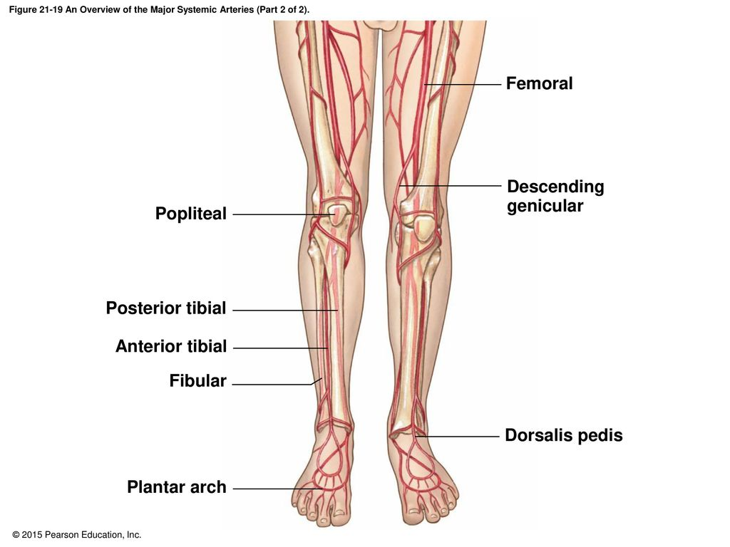 Sural flap anatomy