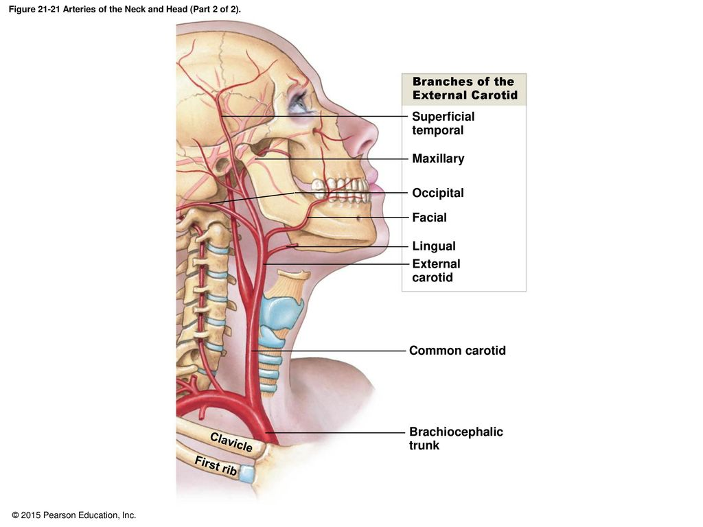 Head and neck vascular anatomy