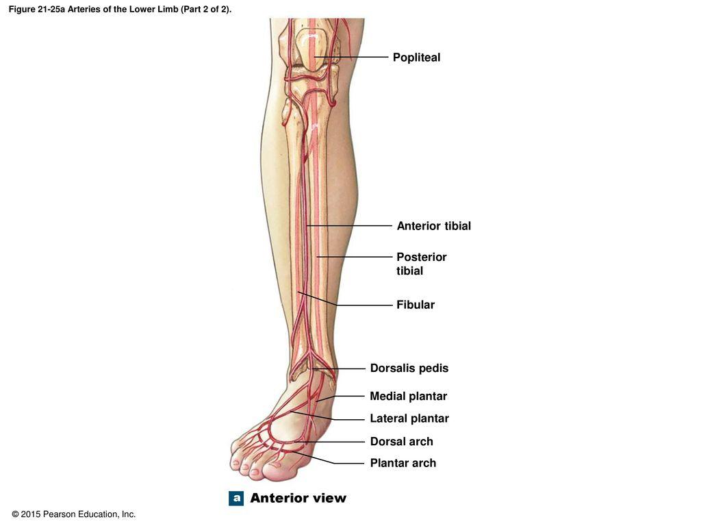 Enchanting Lower Limb Vascular Anatomy Adornment - Human Anatomy ...