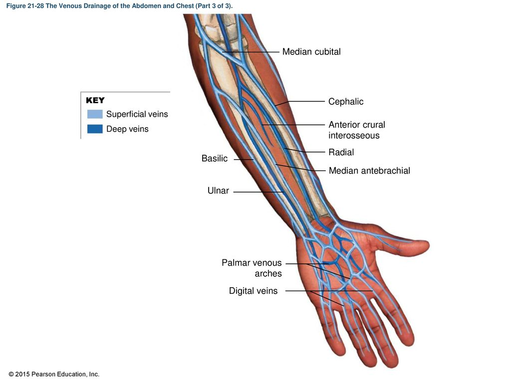 Anatomy of cephalic vein