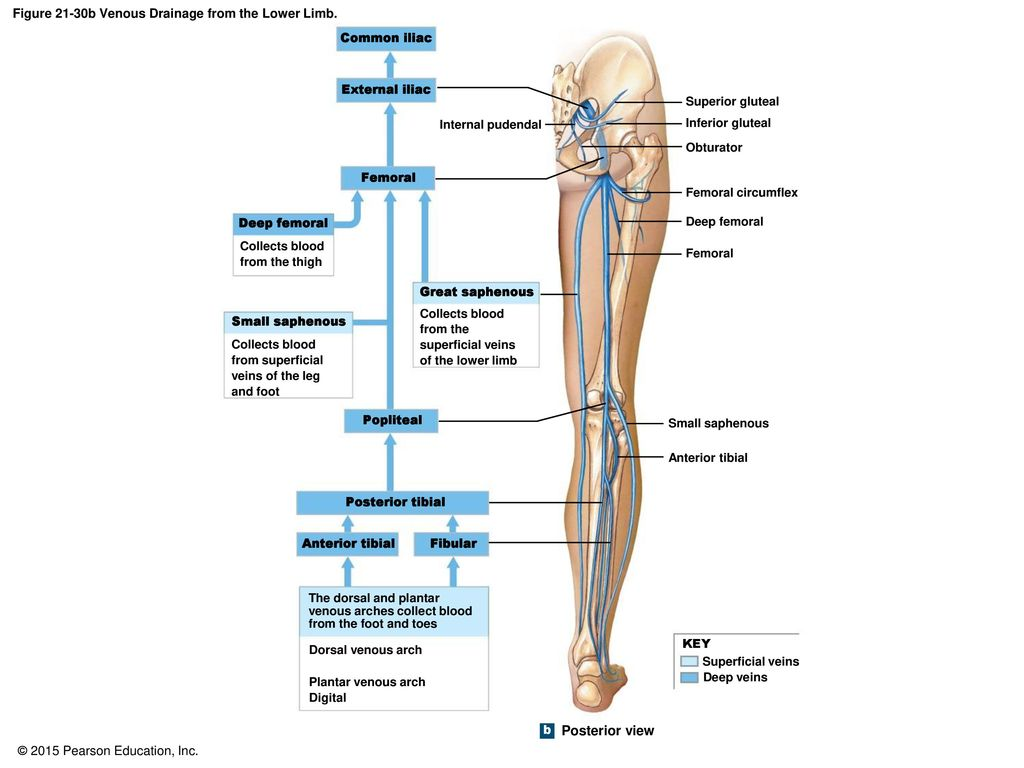 Anatomy of venous system of lower limb 2933666 - follow4more.info
