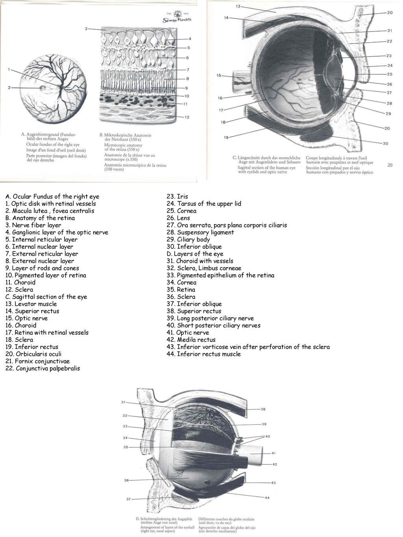 Fantastisch Auge Anatomie Cornea Ideen - Menschliche Anatomie Bilder ...