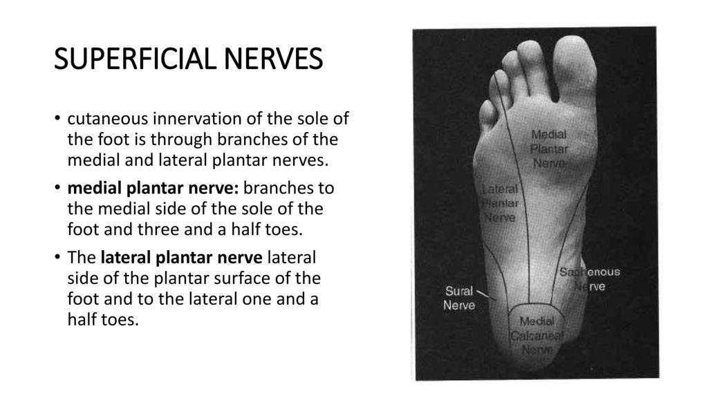 Großartig Lateral Plantar Nerven Fotos - Menschliche Anatomie Bilder ...