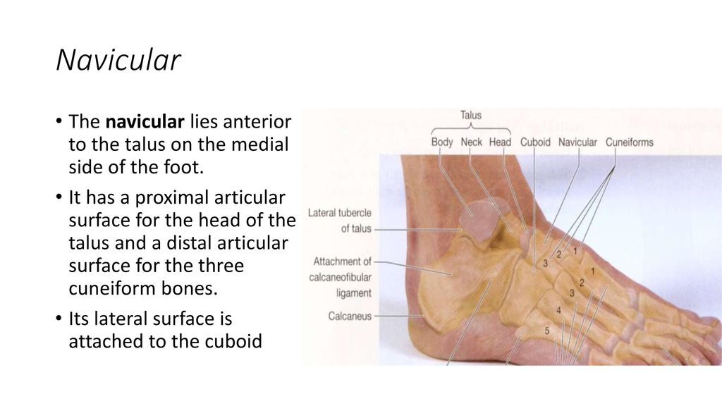 Exelent Anatomy Of The Talus Ensign - Human Anatomy Images ...