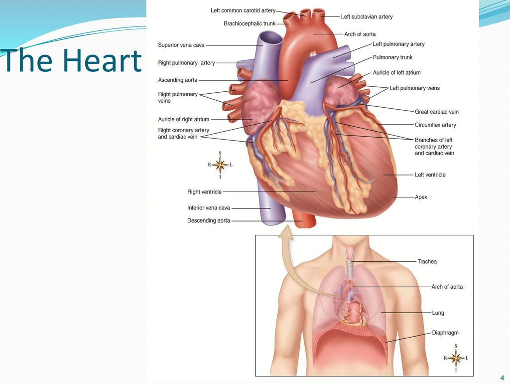 Chapter 14 The Heart. - ppt download