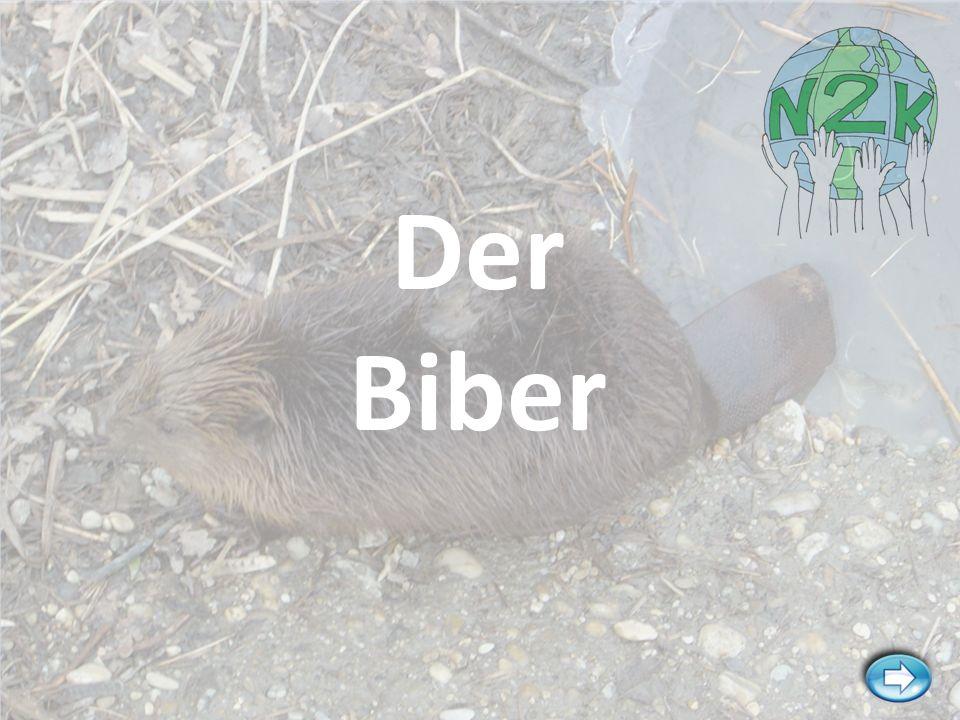 Der Biber