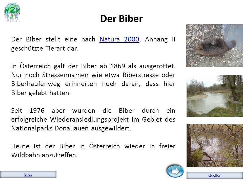 Der Biber Der Biber stellt eine nach Natura 2000, Anhang II geschützte Tierart dar.
