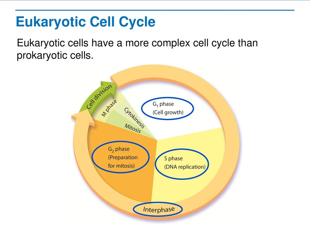 Cell growth division and reproduction ppt download eukaryotic cell cycle eukaryotic cells have a more complex cell cycle than prokaryotic cells focus pooptronica