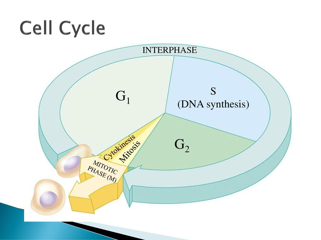 The cell cycle and how cells divide ppt download cell cycle g1 g2 s dna synthesis interphase mitosis cytokinesis pooptronica Gallery