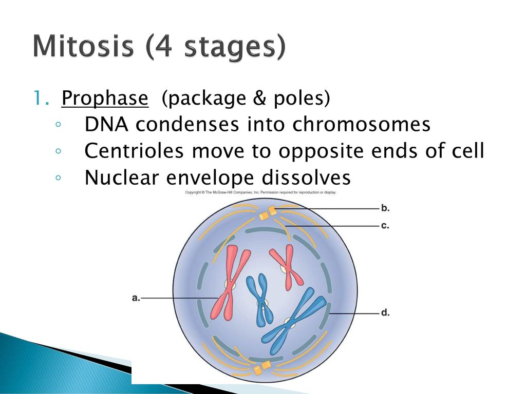 The cell cycle and how cells divide ppt download 15 mitosis 4 stages pooptronica