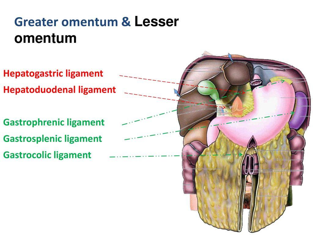 ABDOMEN Ⅳ - ppt download Gastrocolic Ligament