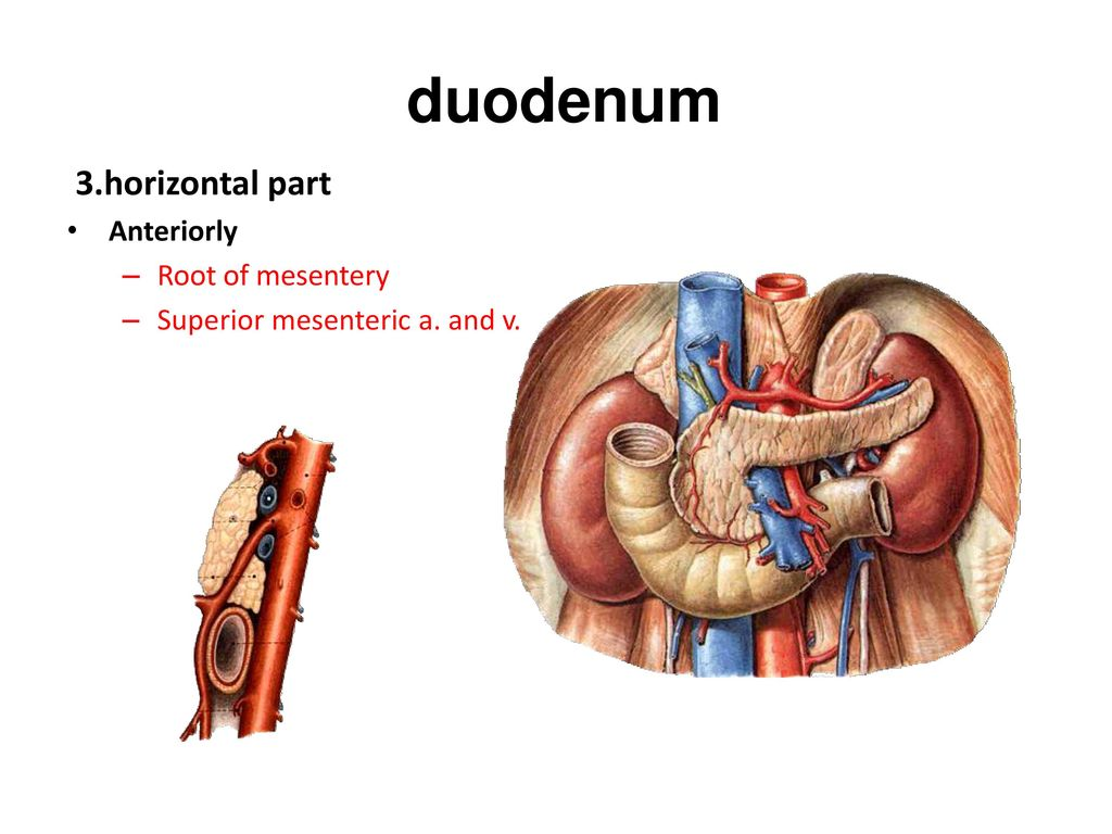 Wunderbar Duodenum Anatomie Ppt Zeitgenössisch - Anatomie Von ...