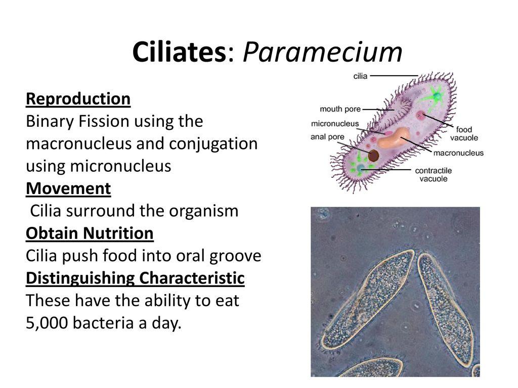 Kingdom protista ppt video online download ciliates paramecium reproduction pooptronica Gallery