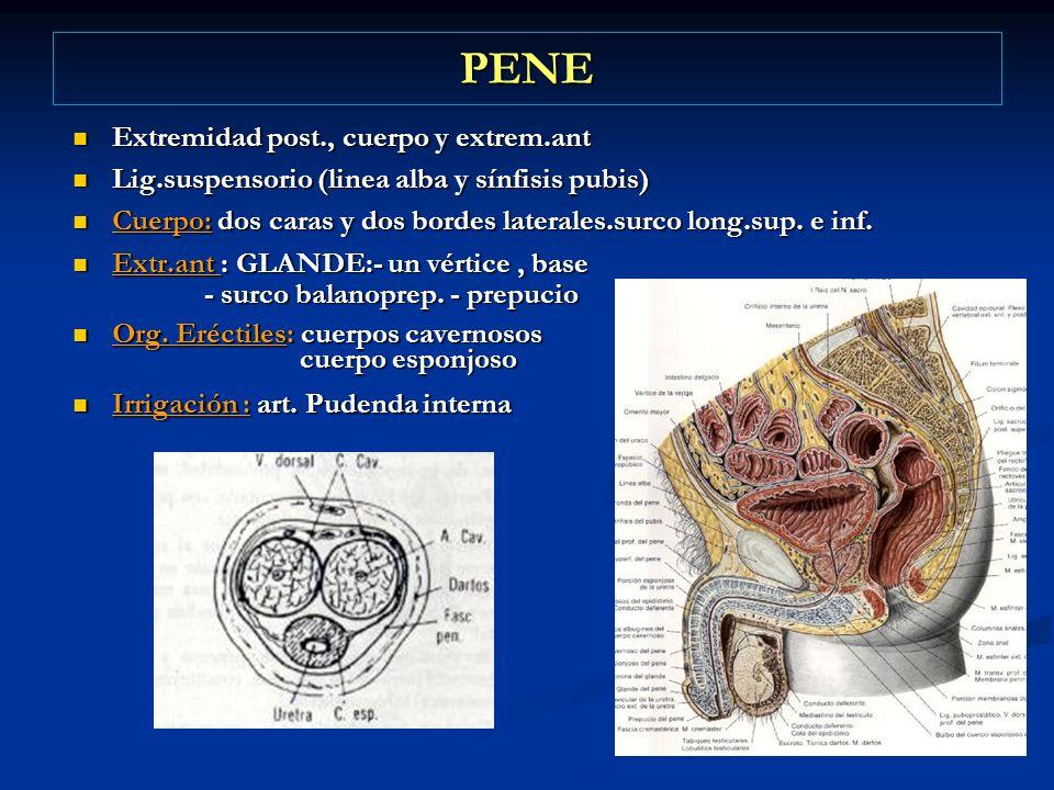 PENE Extremidad post., cuerpo y extrem.ant