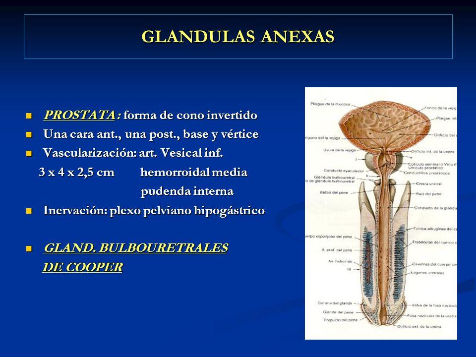 GLANDULAS ANEXAS PROSTATA : forma de cono invertido