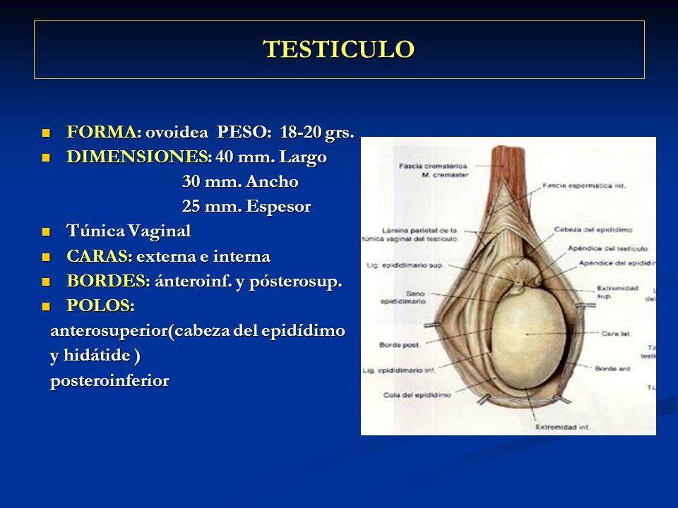 TESTICULO FORMA: ovoidea PESO: 18-20 grs. DIMENSIONES: 40 mm. Largo