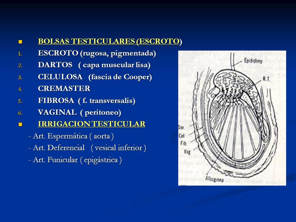 BOLSAS TESTICULARES (ESCROTO)