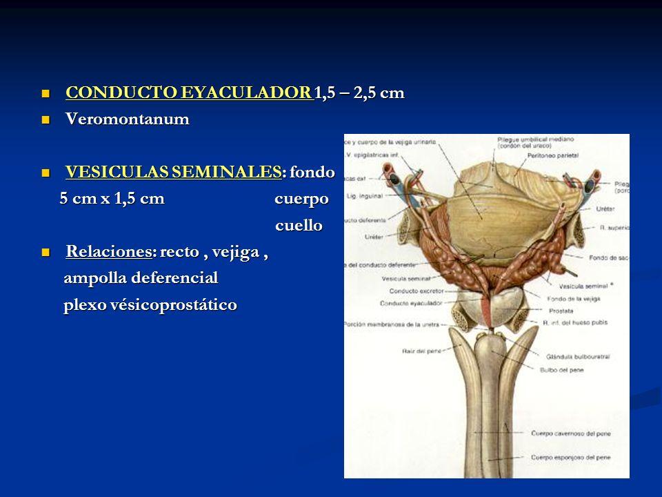 CONDUCTO EYACULADOR 1,5 – 2,5 cm