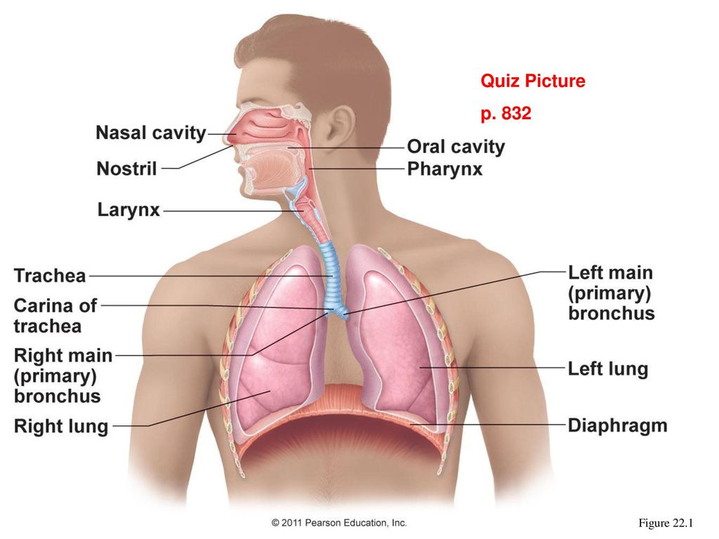 Chapter 22 Respiratory System. - ppt download