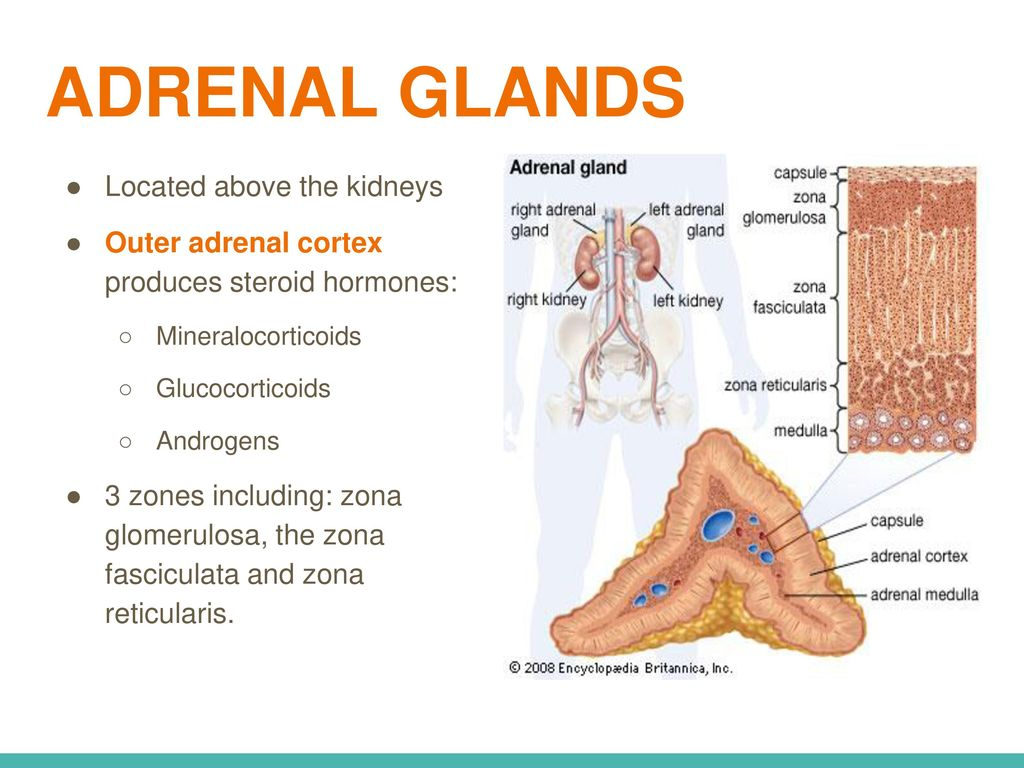 Adrenal gland anatomy