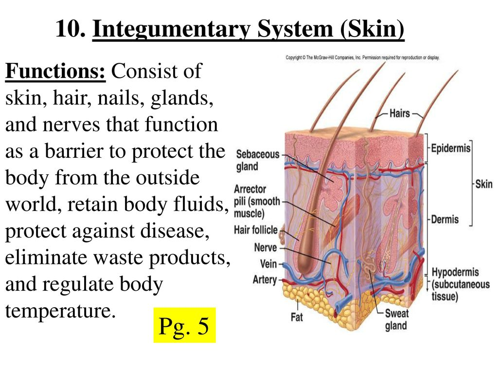 integumentary system notes Mrs chou's classes ch 1 lecture notes ch 5 integumentary system - part iiippt view download: chapter 5: integumentary system - part iii.