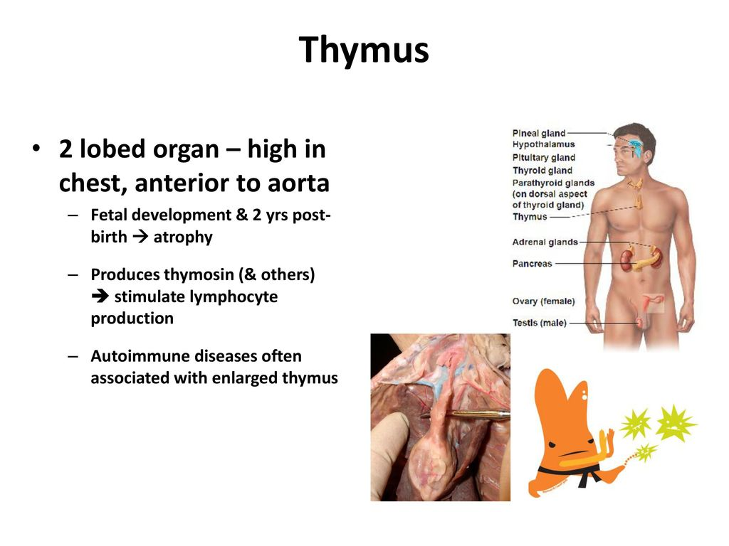 Colorful Thymus Definition Frieze - Physiology Of Human Body Images ...