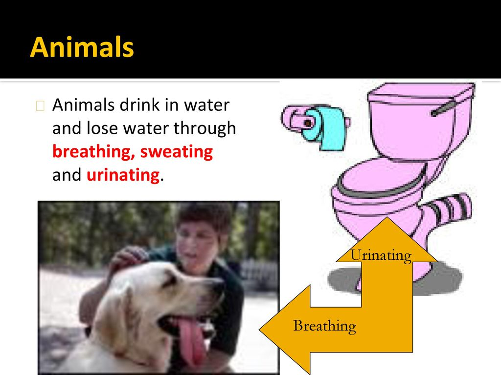 Animals Animals drink in water and lose water through breathing, sweating and urinating. Urinating.