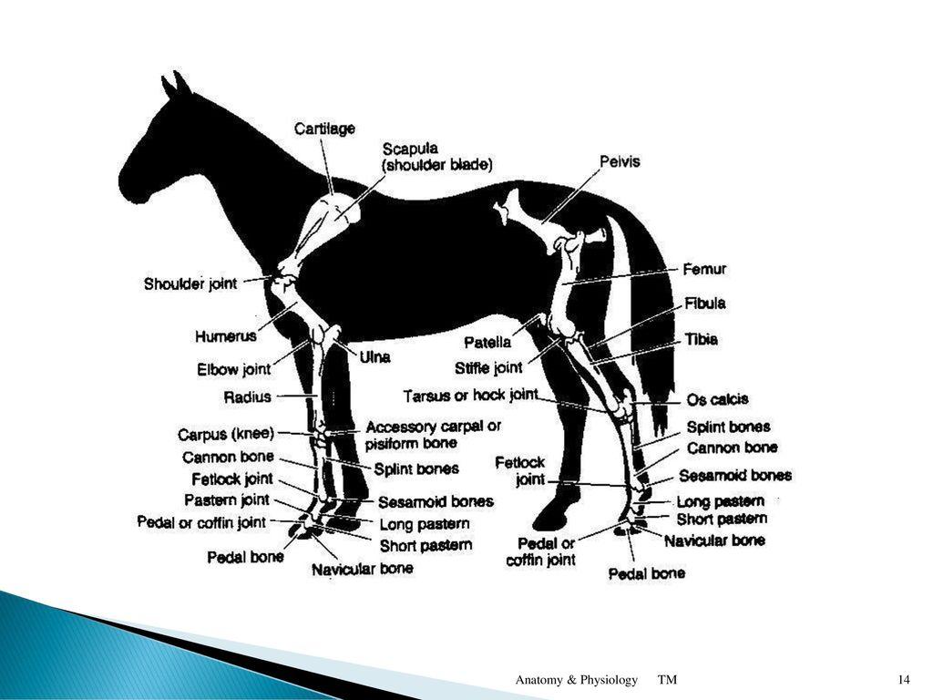 Großzügig Hock Horse Anatomy Ideen - Menschliche Anatomie Bilder ...