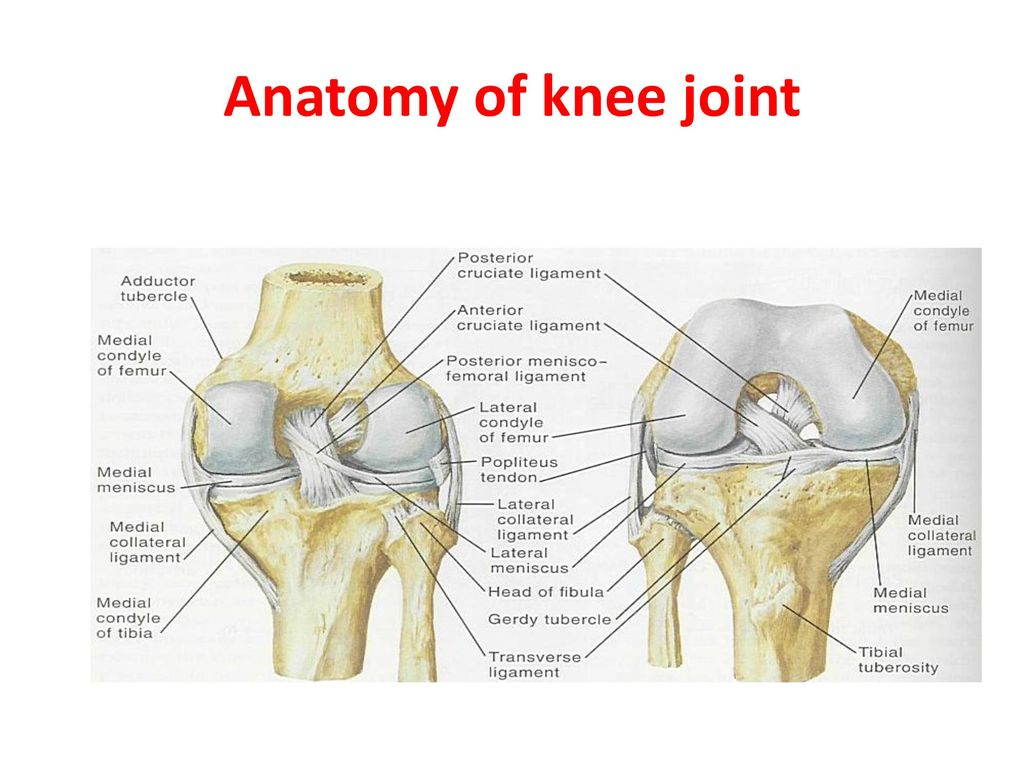 anatomy of the knee joint Knee: knee,, hinge joint that is formed by the meeting of the thigh bone (femur) and the larger bone (tibia) of the lower leg the knee is the largest joint in the body and has to sustain the greatest stresses, since it supports the entire weight of the body above it.