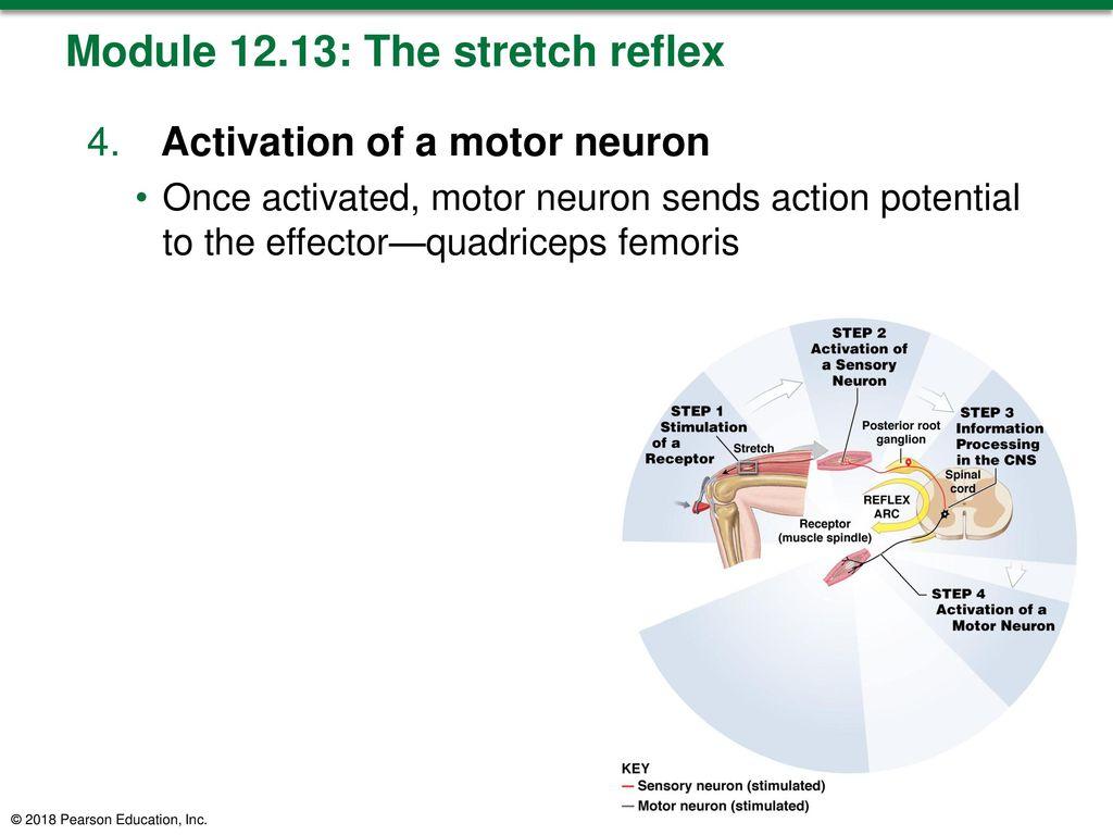 Beste Neuron Anatomy And Physiology Exercise 13 Zeitgenössisch ...