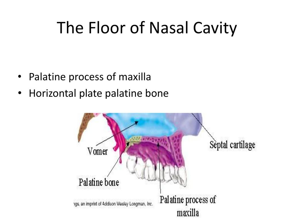 Anatomy of nose and paranasal sinus ppt download for Floor of nasal cavity