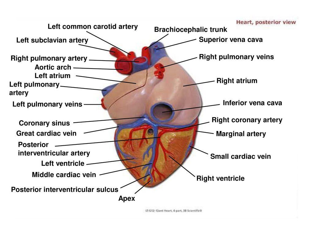 Fine Carotid Artery Anatomy Ppt Sketch - Human Anatomy Images ...