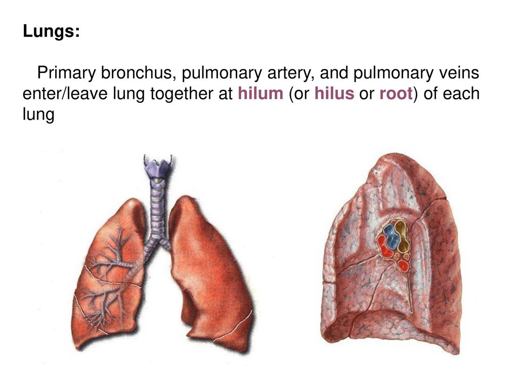 Segmental anatomy of lung 5748284 - follow4more.info
