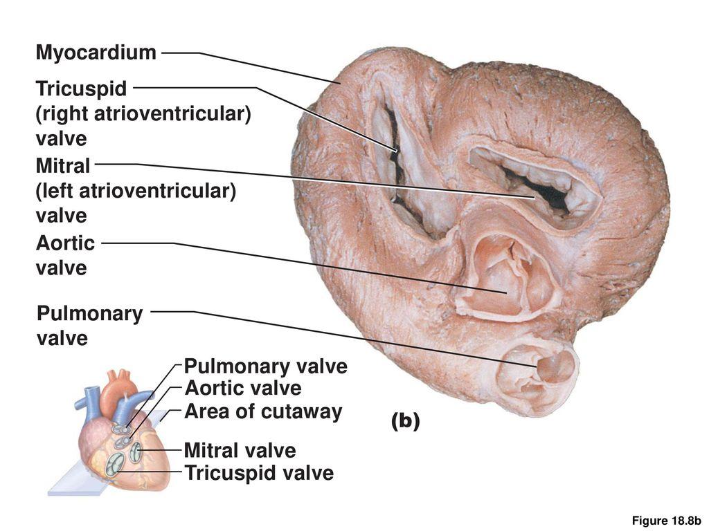 Tee mitral valve anatomy 9858545 - follow4more.info
