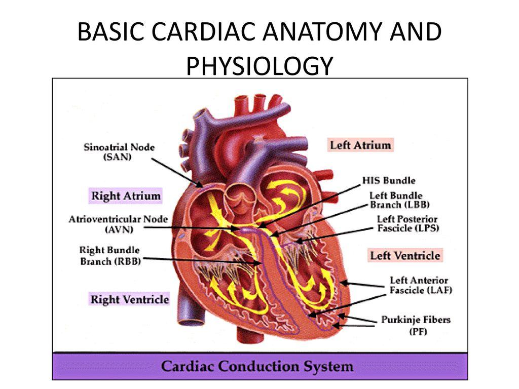 Basic Anatomy And Physiology